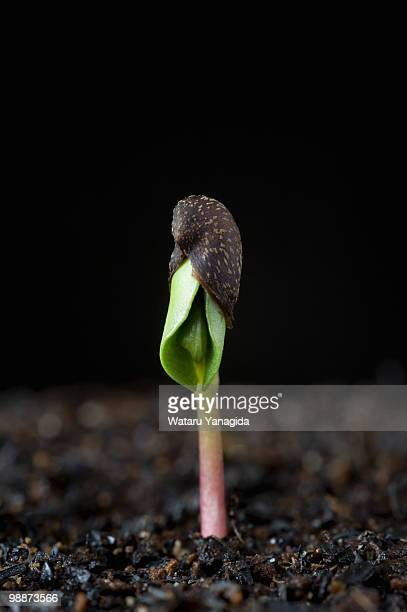 Apple seedling with seed shell