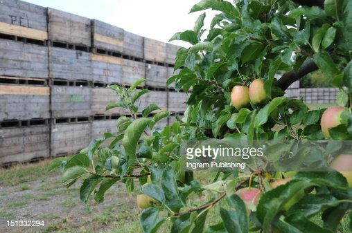 Apple tree and wooden crates on an apple farm. : Stock-Foto