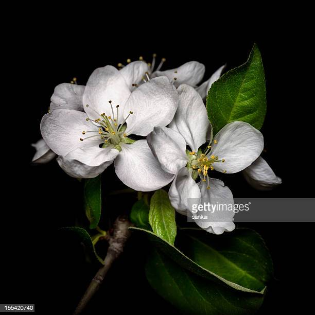 Apple tree blossom isolated on black background