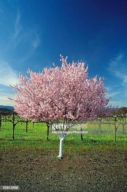Apple tree in a field, Napa Valley, California, USA