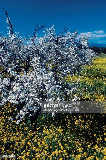 Apple tree in a mustard field, Napa Valley, California, USA
