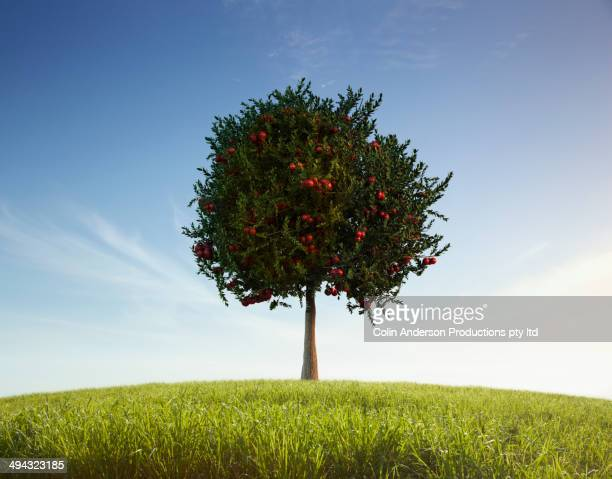 Apple tree in rural field