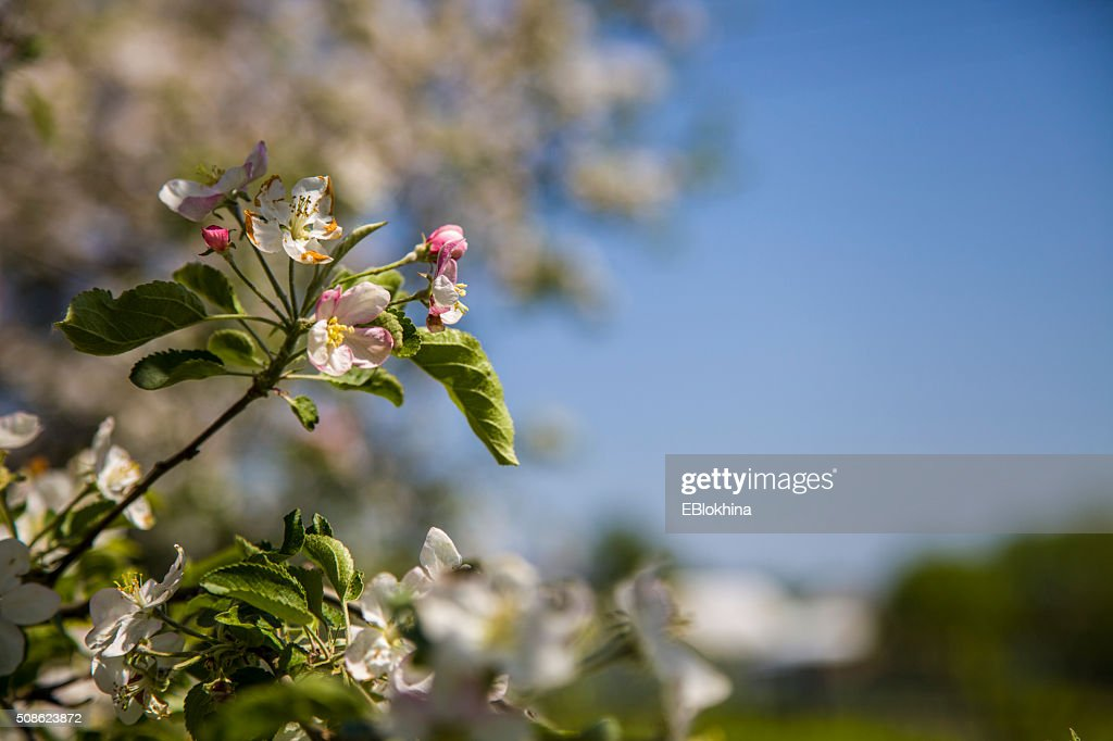 Apple tree in spring day : Stock Photo
