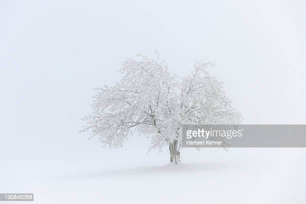 Apple tree in winter with fog