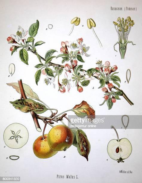Apple tree Malus pumila commonly and erroneously called Malus domestica