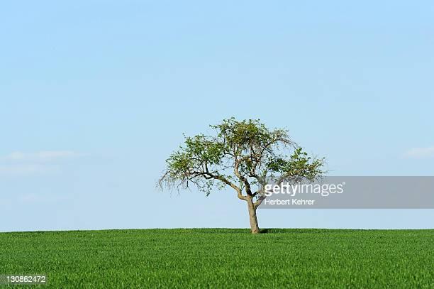 Apple tree on a field in spring, Baden-Wuerttemberg, Germany, Europe