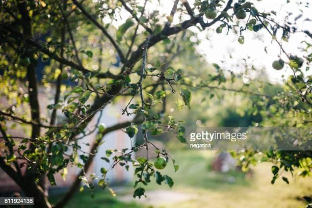 apple tree on the sunset