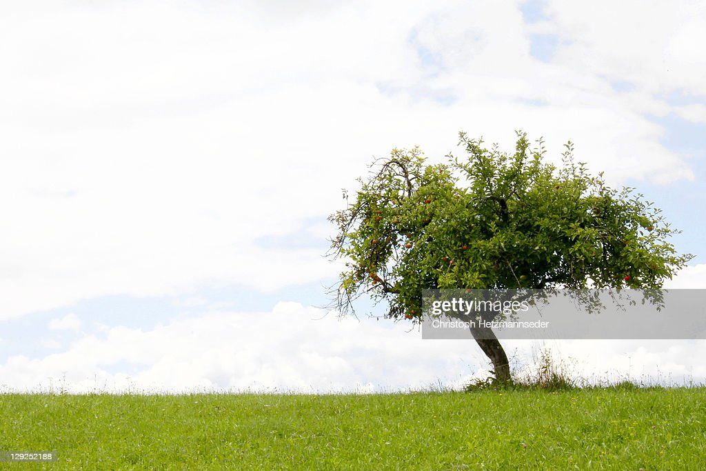 Apple tree : Stock Photo