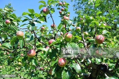 Macieira : Foto de stock