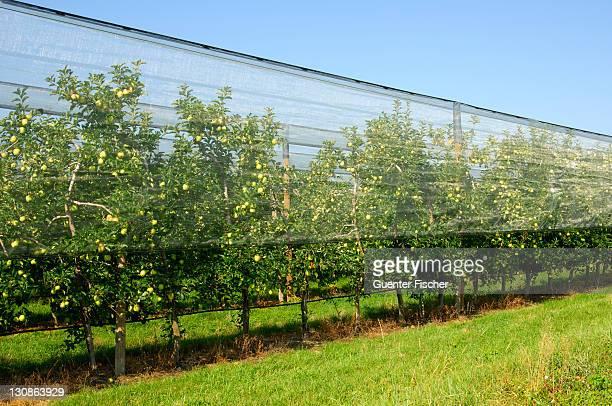 Apple tree plantation under hail protection