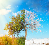 Apple tree split in two seasons: summer and winter