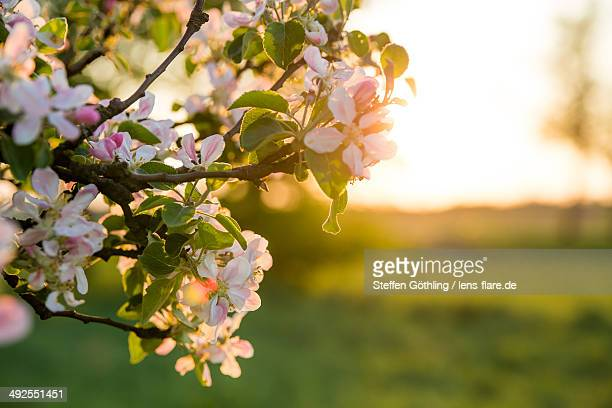 Apple tree with flowers in the evening