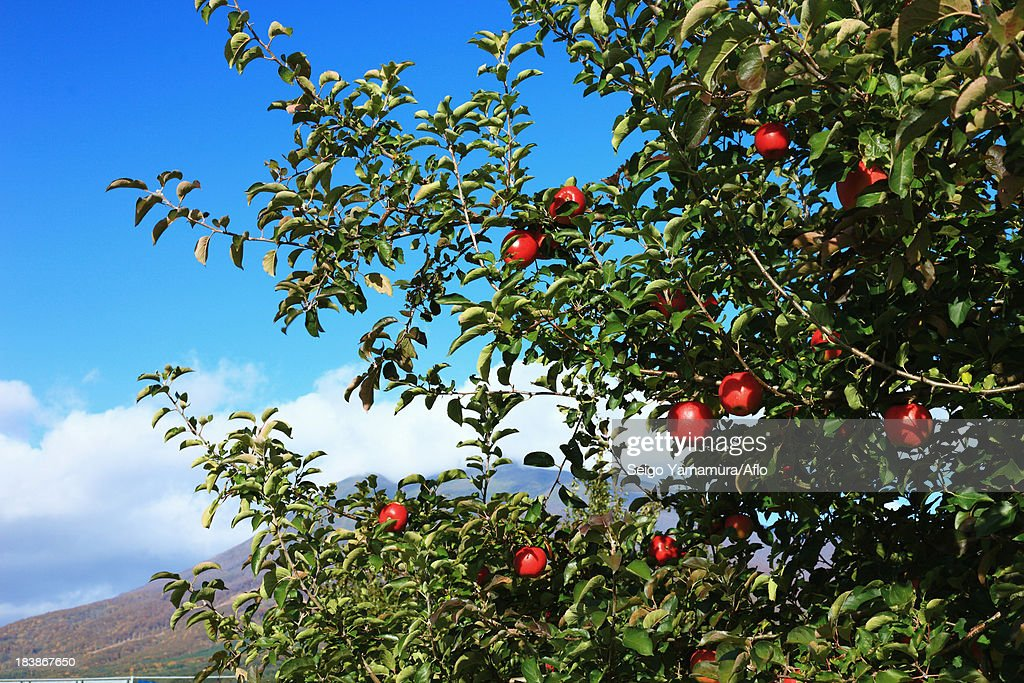 Apple trees and blue sky with clouds