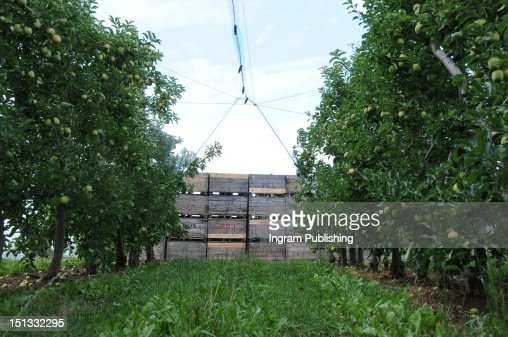 Apple trees and wooden crates on an apple farm. : Stock Photo