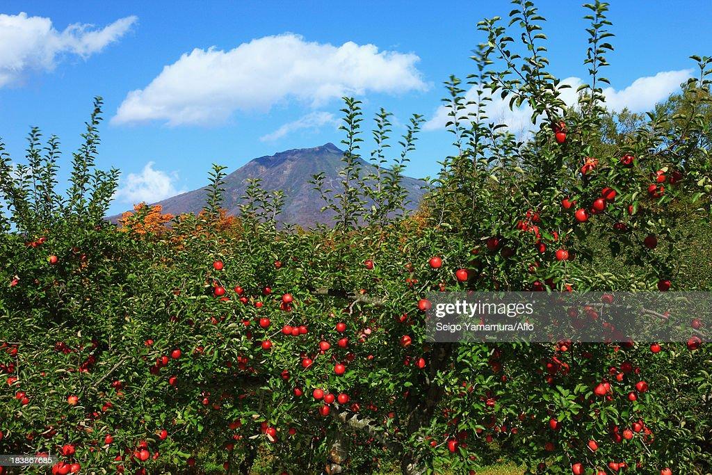 Apple trees at Mount Iwaki, Aomori Prefecture