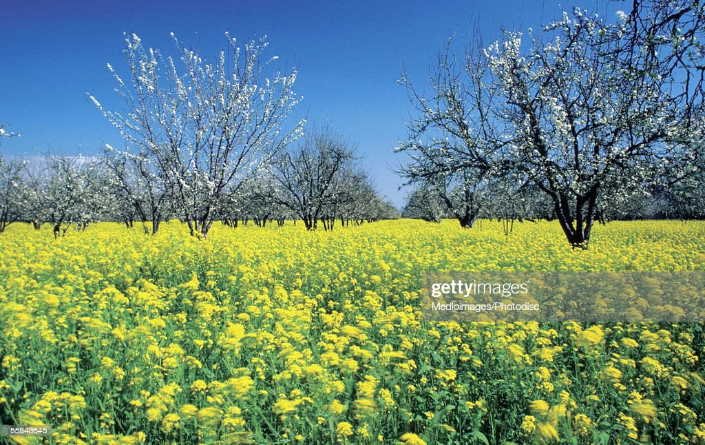 Apple trees in a mustard field, Napa Valley, California, USA
