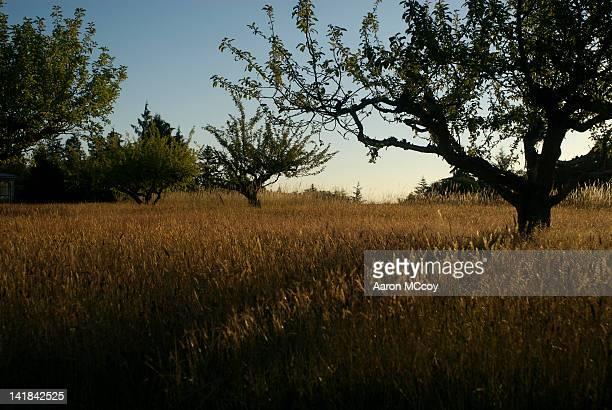 Apple trees in field of long grass, Vashon Island, Washington