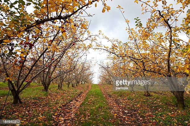 Apple Trees in grove or orchard