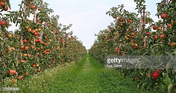 Árvores de maçã-Pomar # 2