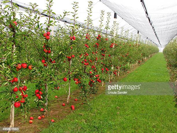 Apple trees under hail protection net