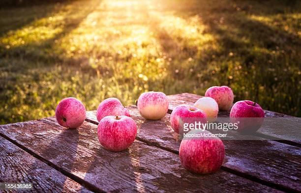 Manzanas cubierto con rocío al amanecer