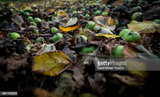 Apples Fallen On Land In Forest