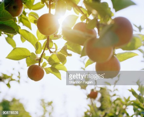 Apples Hanging From Branches With Sunlight  : Stock Photo