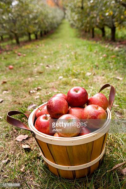 Apples in a basket with apple orchard in the background.
