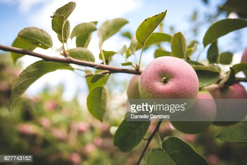 Apples on a branch ready to pick