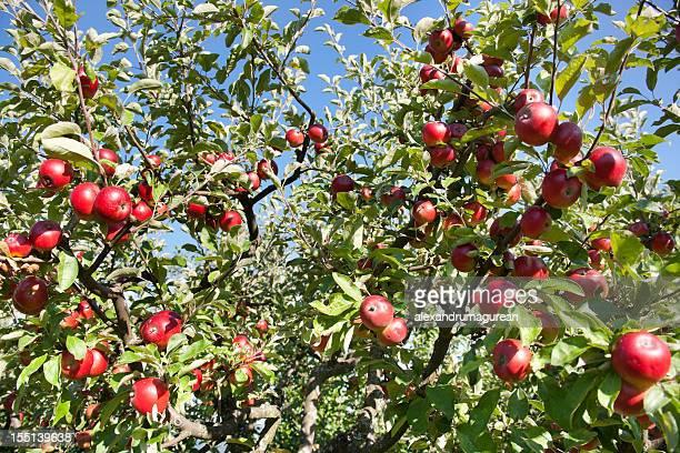 Äpfel auf einem Ast