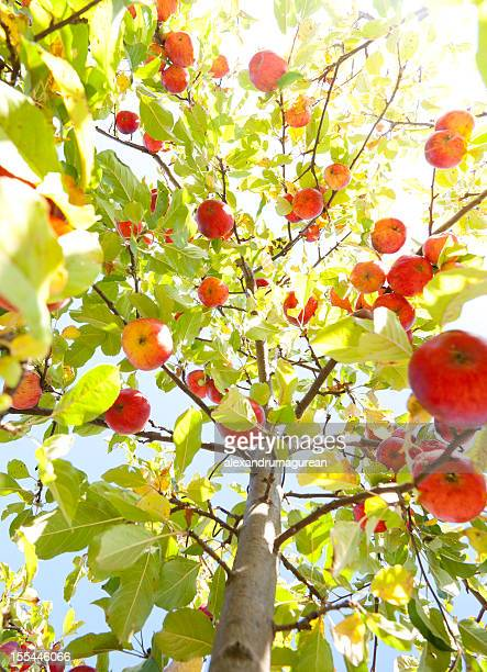 Apples On Branch
