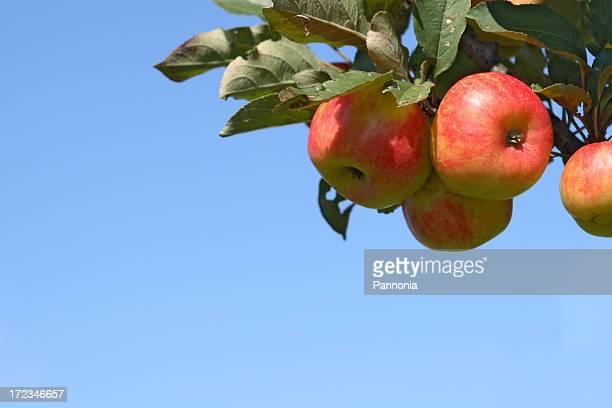 Äpfel auf Baum