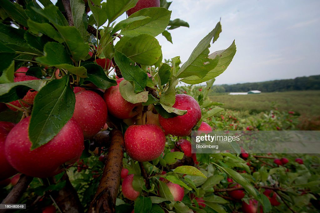 Apples ready to be harvested hang from a tree at Stone Ridge Orchard in Stone Ridge, New York, U.S., on Thursday, Sept. 12, 2013. With apple harvest now officially underway across the state of New York, nearly 700 apple growers are expected to pick about 32 million bushels by the time harvest concludes in November, according to New York Apple Association (NYAA) reports. Photographer: Craig Warga/Bloomberg via Getty Images