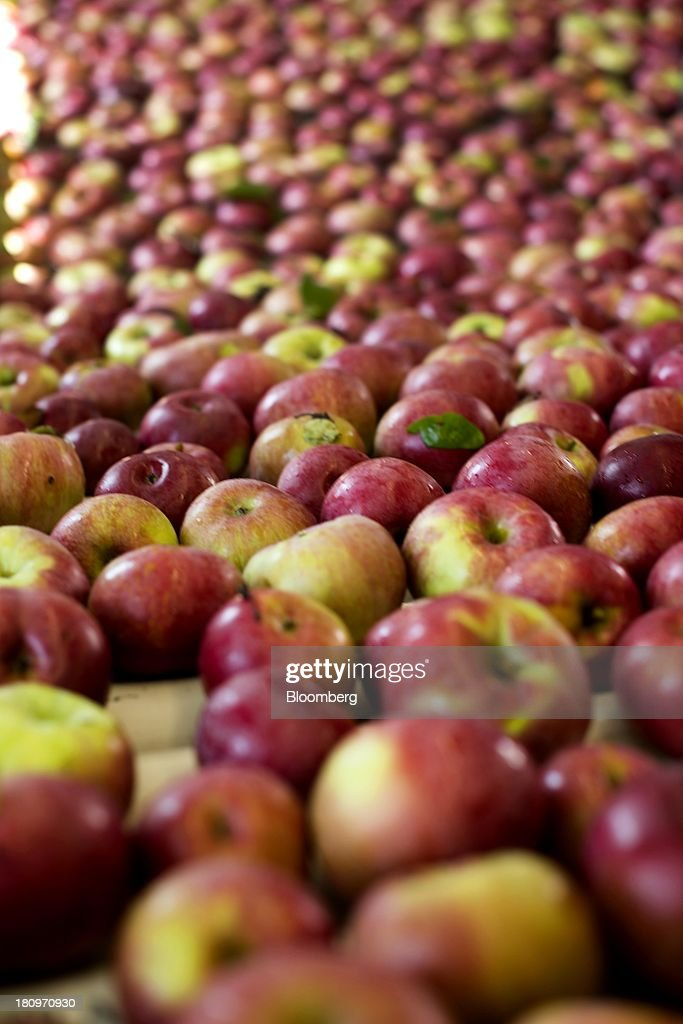 Apples roll slowly on the conveyor belt in the processing center at MacQueen Orchards in Holland, Ohio, U.S., on Tuesday, Sept. 17, 2013. Ohio is one of the top ten apple-producing states in the U.S., which overall has about 7,500 apple producers who grow nearly 100 varieties of apples on approximately 363,000 acres, according to the U.S. Apple Association. Photographer: Ty Wright/Bloomberg via Getty Images