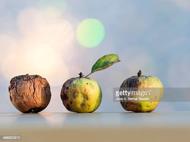 Apples rotted in condition of decomposition