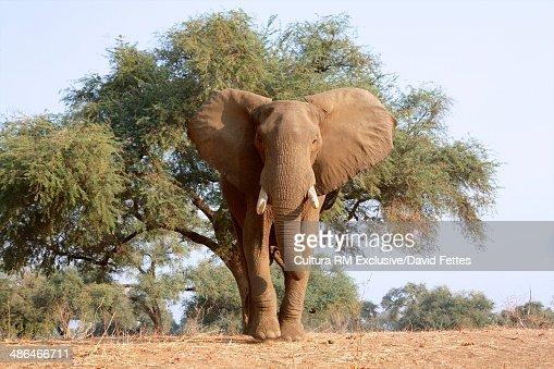 Approaching african elephant bull - Loxodonta africana, Mana Pools National Park, Zimbabwe, Africa