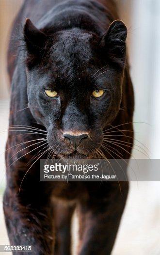 Approaching black leopard