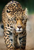 approaching jaguar