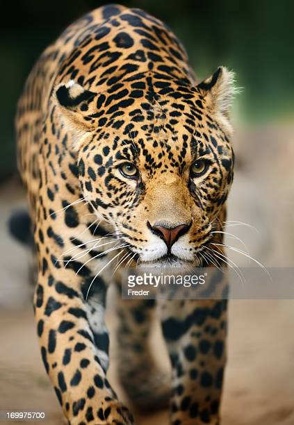 approaching jaguar