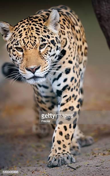 Viene jaguar