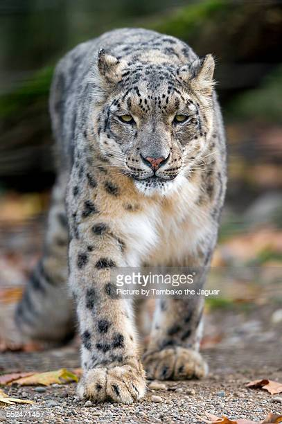 Approaching snow leopard