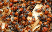 Approximately 4500 ladybugs are released by children at Chesterbrook Academy in honor of Earth Day April 19 2012 The ladybugs will feed on aphids and...