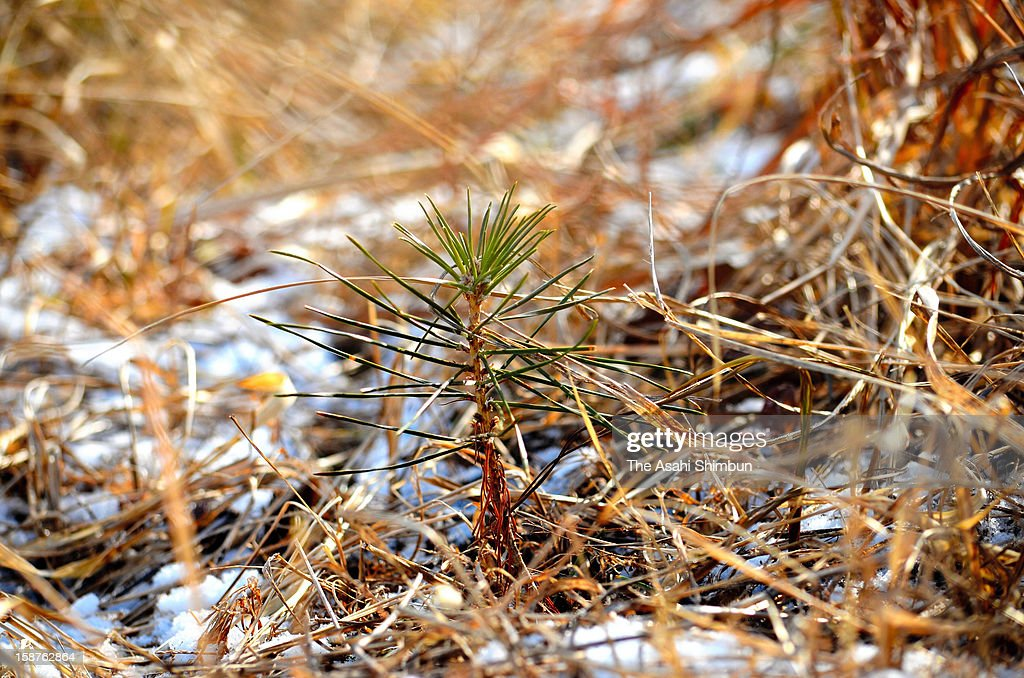 Approximately ten centimeters young pine tree is seen at Takatamatsubara, where 70,000 pine trees were washed away except a tree that is eventually called 'Miracle Pine Tree', on December 26, 2012 in Rikuzentakata, Iawte, Japan. The young tree will be planted to different place to avoid salt damage.