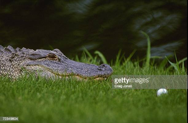 A view of a crocodile as a ball lands near it during the MCI Heritage Classic at the Harbour Town Golf Links in Hilton Head South Carolina
