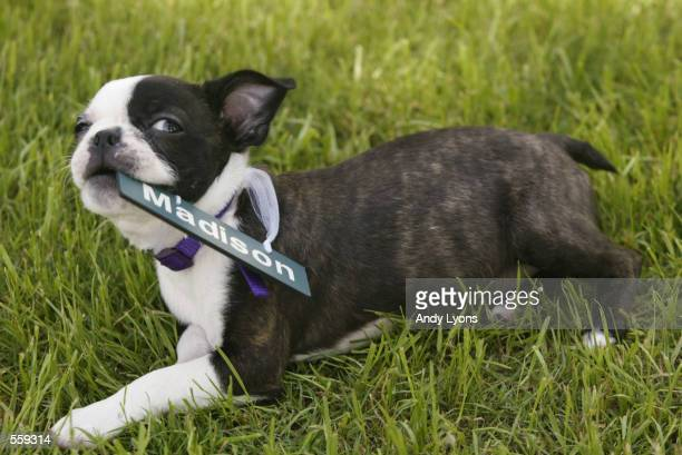 Martina Navratilova's Boston Terrier puppy Madison plays in the grass during the Family Circle Cup at Family Circle Magazine Stadium on Daniel Island...