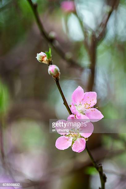 Apricot and cherry blossom on spring time
