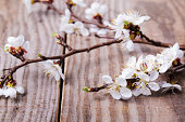 Apricot blooming brunches on the wooden table close-up