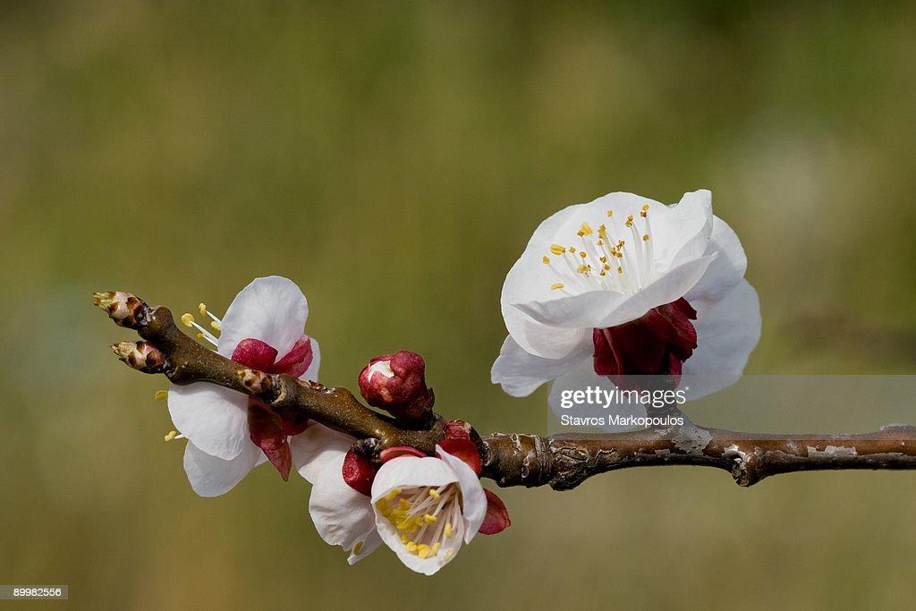 Apricot blossom : Stock Photo