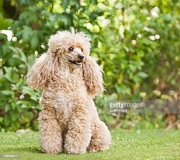 Apricot French Poodle in Garden