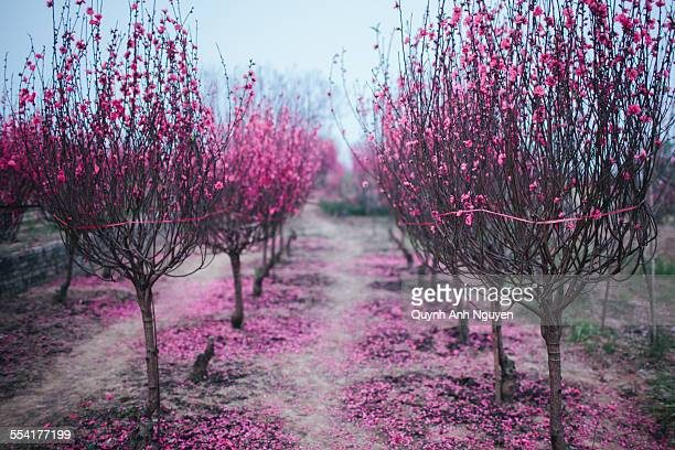 Apricot peach blossom trees for Tet in Vietnam